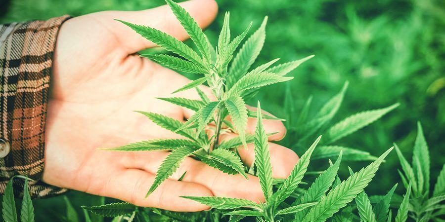 Pourquoi L'humidité Est Importante Pour Le Cannabis ?