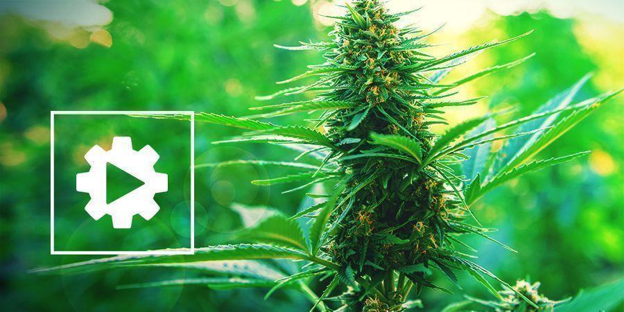Comprendre Les Plants De Cannabis Autofleurissants