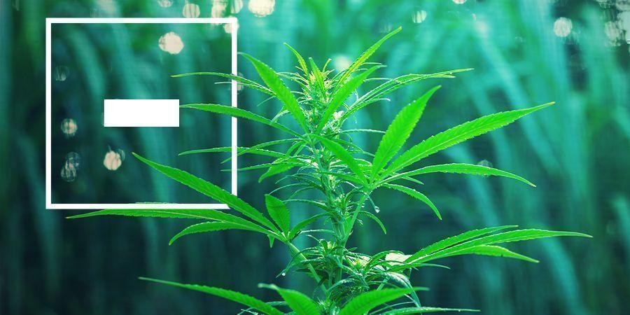 Inconvénients des Variétés de Cannabis à Floraison Rapide
