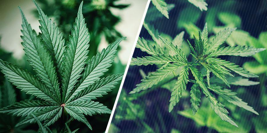 Génétique Des Plantes De Cannabis