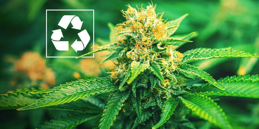 Pourquoi Cultiver Du Cannabis En Aquaponie ?