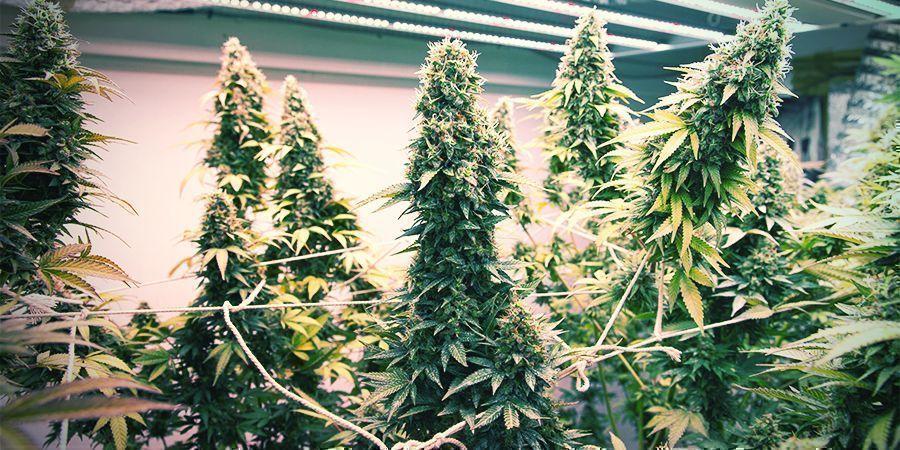 Comment Créer Une Installation De Culture Verticale Pour Le Cannabis