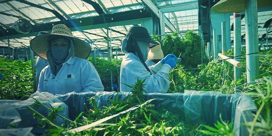 La Culture du Cannabis Verticale, Est-Ce le Futur ?