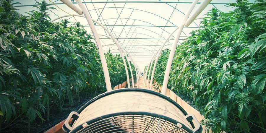 Culture Du Cannabis Ordinaire