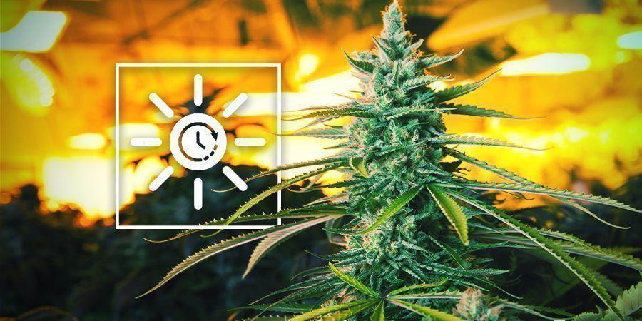 Changez Le Planning Lumineux Plus Tôt - Culture Verticale Du Cannabis