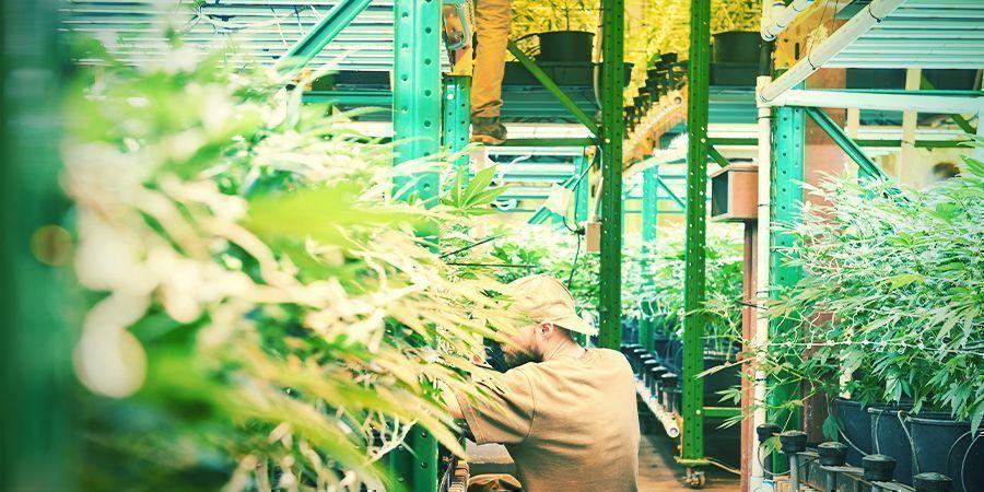 Qu'Est-Ce Que La Culture Verticale Du Cannabis ?