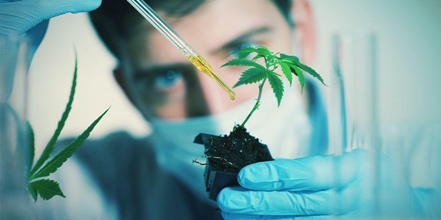 Facteurs Qui Pourraient Affecter La Floraison Du Cannabis: Substances Chimiques Exogènes