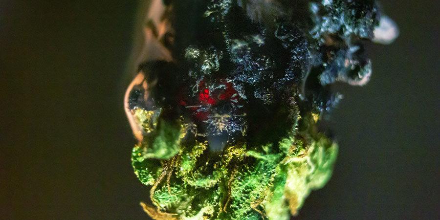 Types De Contaminants Dans Le Cannabis : Engrais Brix
