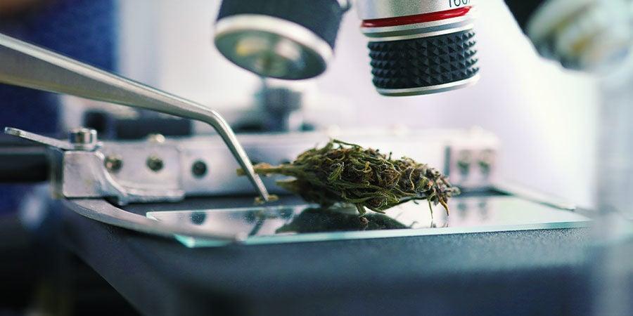 Types De Contaminants Dans Le Cannabis : Plomb