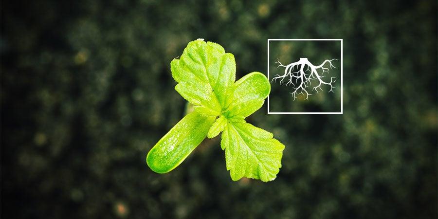 Que Sont les Rhizobactéries Favorisant la Croissance des Plantes (RFCP)?