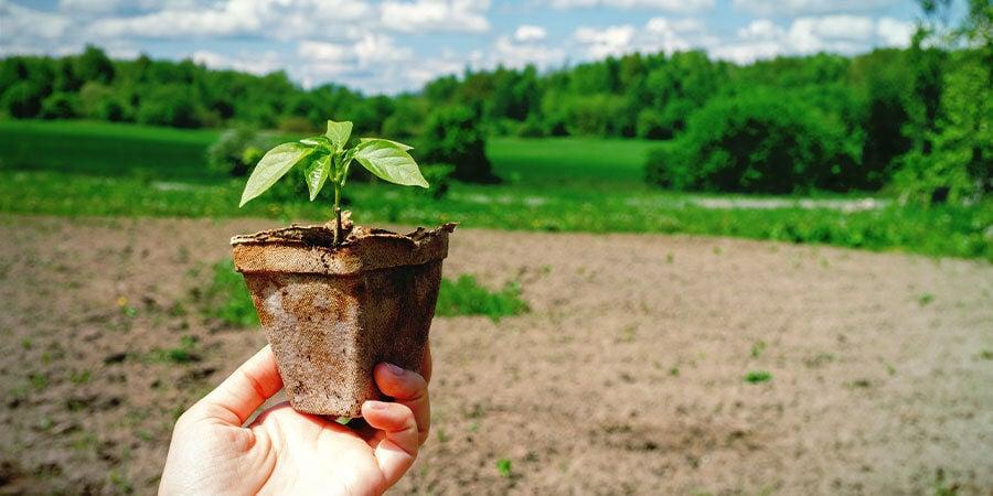 Cultiver Piments Pour Débutants: Endurcissez Plantules