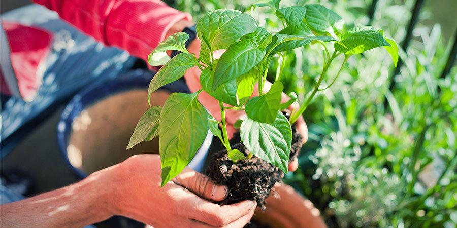 Cultiver Piments Pour Débutants: Transplantez Plantules Et Arrosez