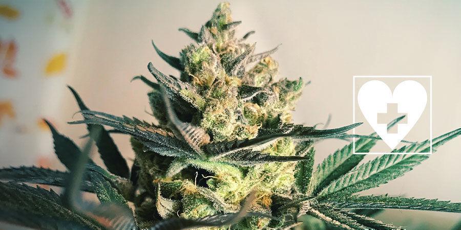 Nouvelles Variétés CBD De Cannabis - Royal Queen Seeds
