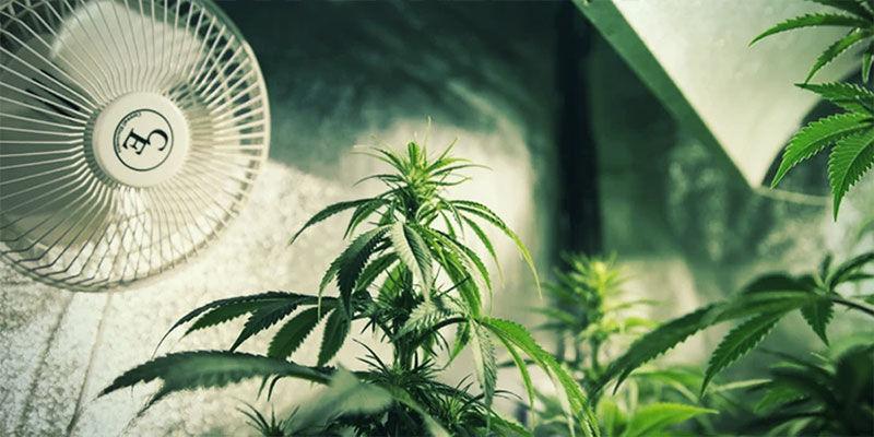 Contrôler La Floraison Du Cannabis En Privant De Lumière: Garantissez Une Ventilation Adéquate