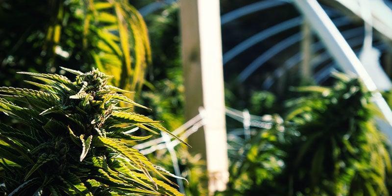 Comment Utiliser La Privation De Lumière Pour Contrôler La Floraison Du Cannabis: En Extérieur