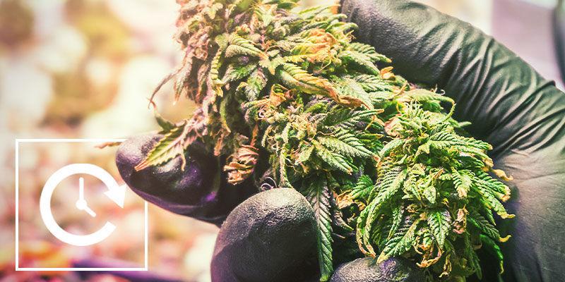 Contrôler La Floraison Du Cannabis En Privant De Lumière: Avantages Et Inconvénients De La Privation De Lumière