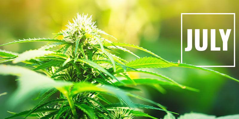 Contrôler La Floraison Du Cannabis En Privant De Lumière: Quand Démarrer La Privation De Lumière ?