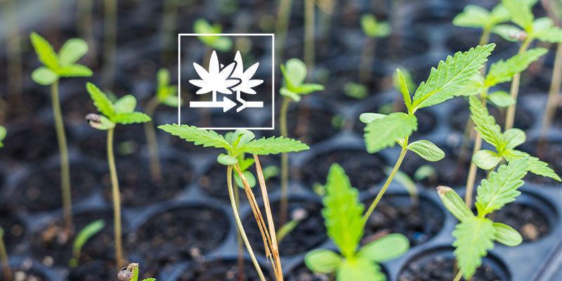 Pourquoi Cultiver Graines Régulières De Cannabis ?