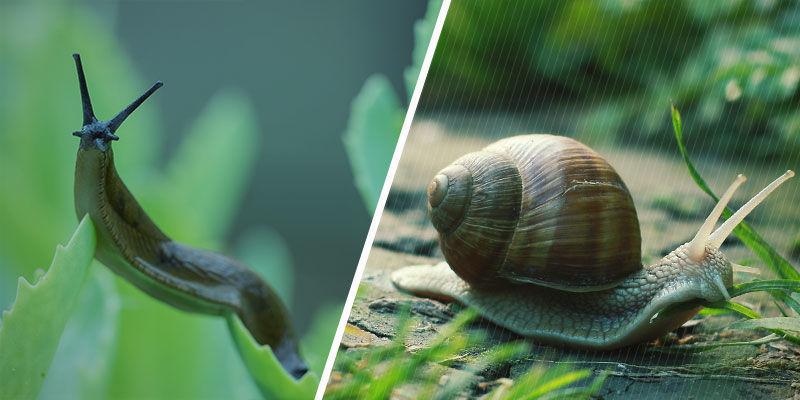 Les Limaces Et Les Escargots Sont-ils Semblables ?
