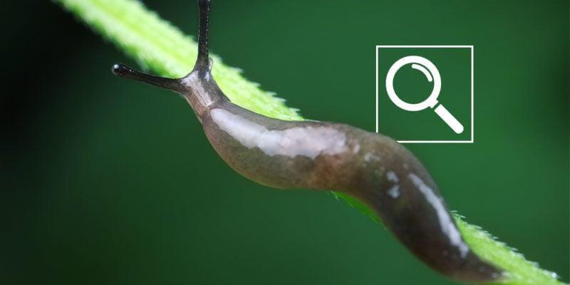 Comment Repérer Les Limaces Et Les Escargots Sur Les Plants De Cannabis