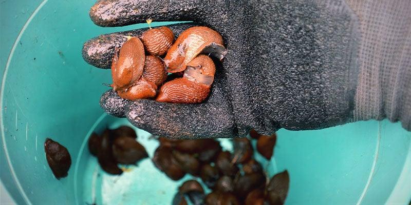 Enlever Manuellement Les Limaces Et Les Escargots