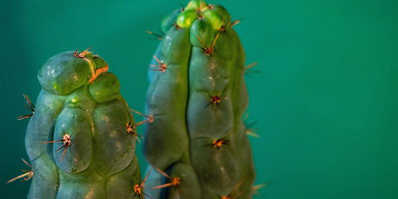 C'Est Quoi Echinopsis Zamnesiana ?