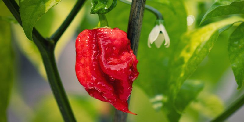 Piments Plus Forts: Carolina Reaper