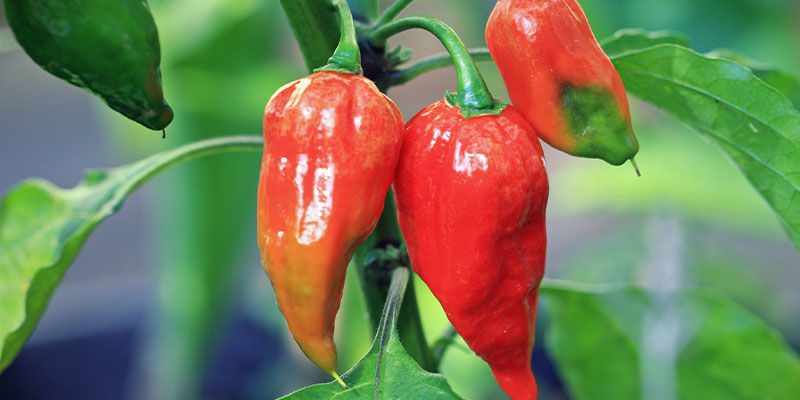 Piments Plus Forts: Ghost Pepper (Bhut Jolokia)