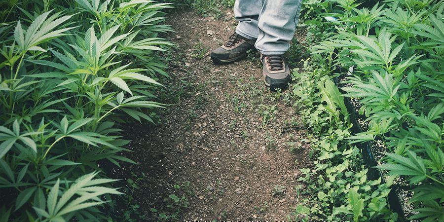 Utilisations Pour Le Chanvre : Agriculture (Bioremédiation)