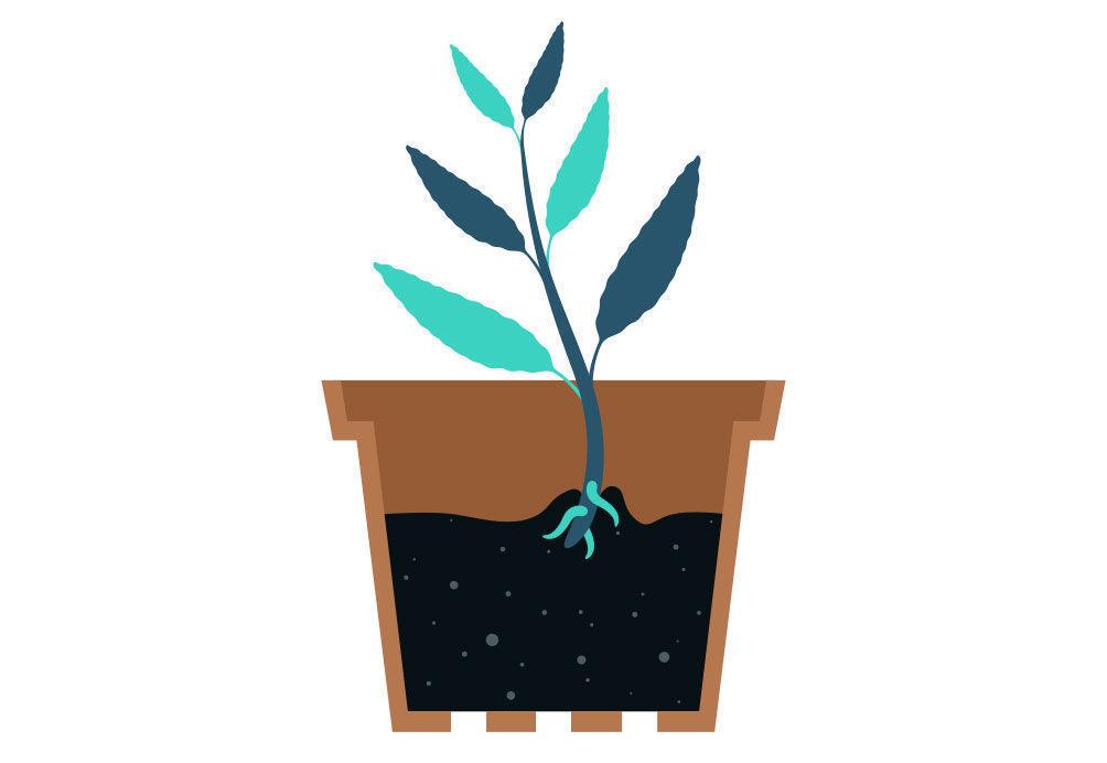 Étape 3: Multiplier La Salvia Divinorum À Partir De Votre Bouture