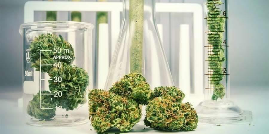 Cannabis : Une Plante Chimiquement Complexe
