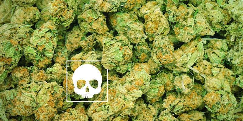 Quelle Quantité De Cannabis Est Mortelle ?