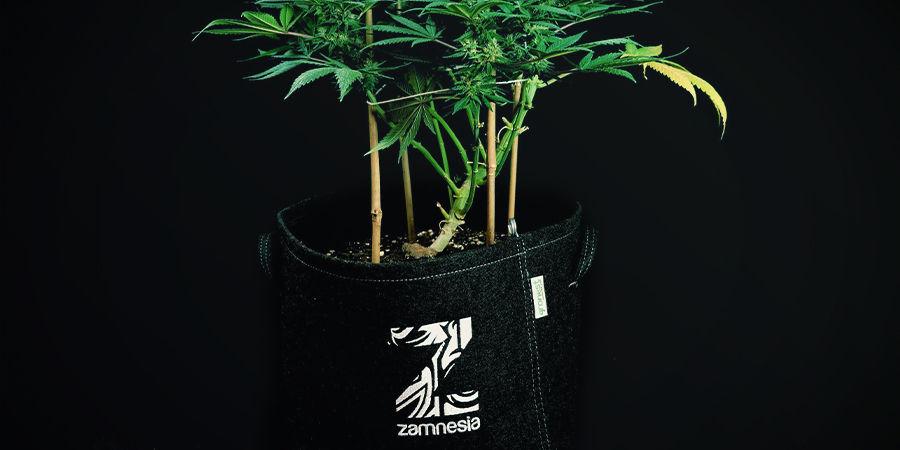 Les Plants À Autofloraison N'ont Pas Besoin D'être Rempotés