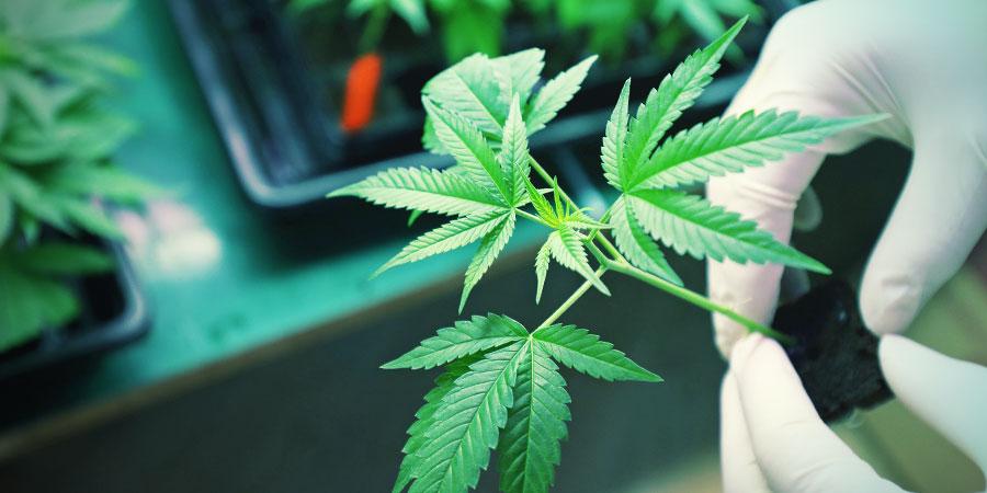 La Consommation De Cannabinoïdes De Synthèse Est-elle Dangereuse ?