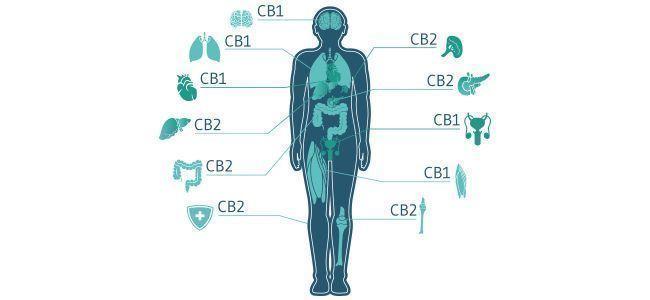 Que vient faire le système endocannabinoïde dans tout ça ?