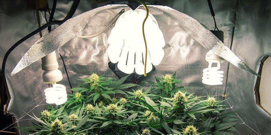 Lampes CFL/T5 - plantes de cannabis