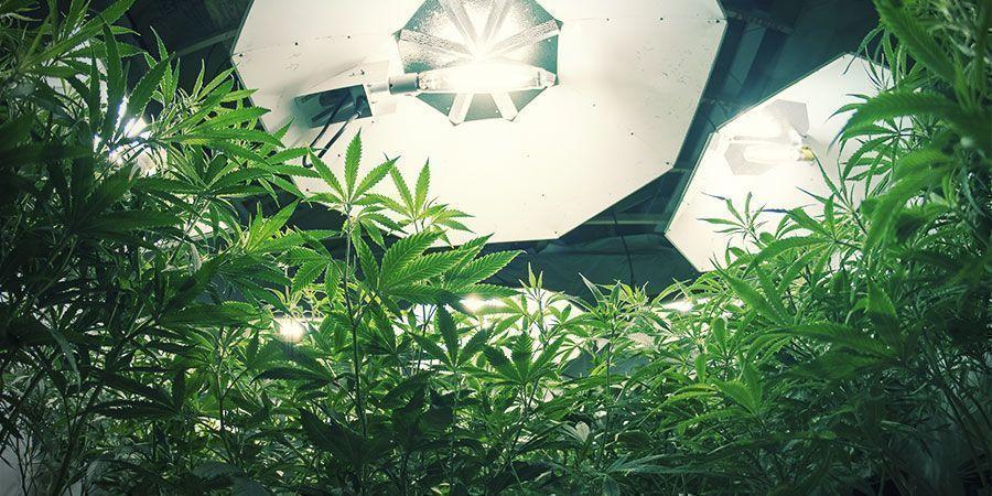 Lampes HID (MH & HPS) - plantes de cannabis