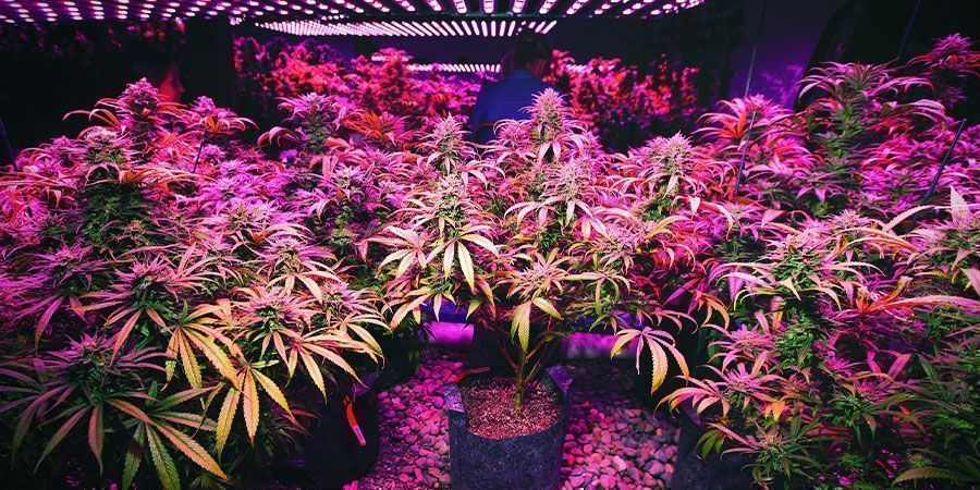 Lampes LED - plantes de cannabis
