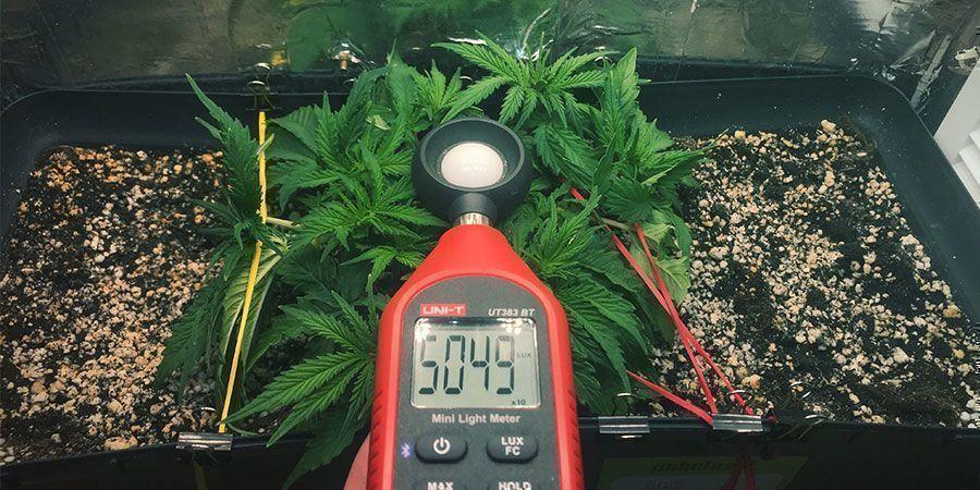 Utilisez Un Luxmètre Ou Un Compteur Par - plantes de cannabis