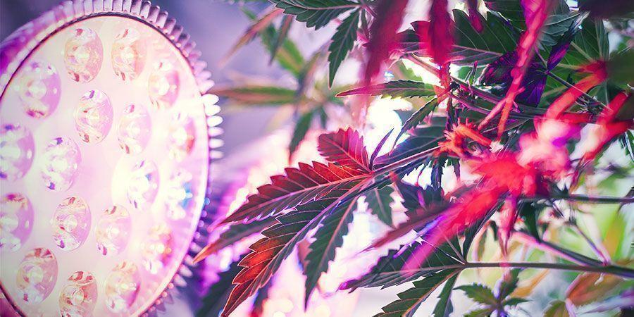 Pourquoi La Distance D'éclairage Est-Elle Importante? plantes de cannabis