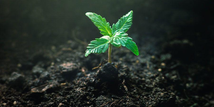 Alimenter Les Pousses De Cannabis - Prendre Soin Des Jeunes Pousses De Cannabis