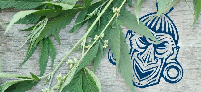 Variétés De Cannabis Sativa