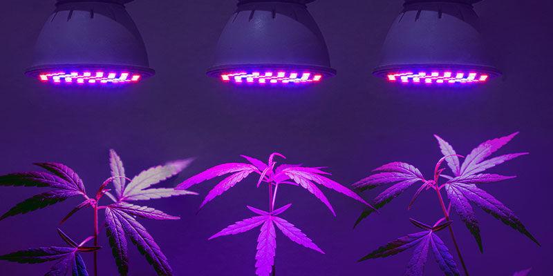 Avez-vous Besoin De Lampes UV Spéciales Pour Le Cannabis ?