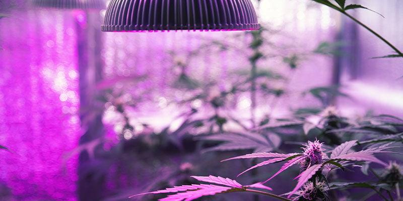 Comment Donner Des Rayons UV Aux Plants De Cannabis