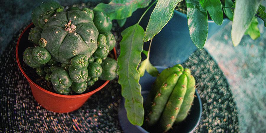 Cultiver Des Cactus De Mescaline À Partir De Graines—conclusion