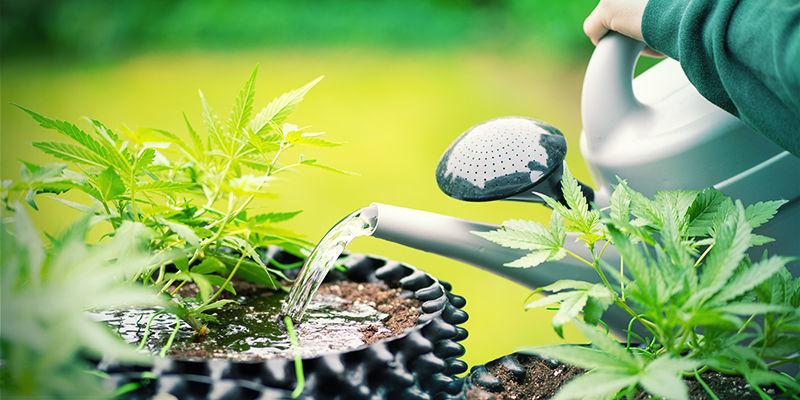 Cannabis Overdose De Silice