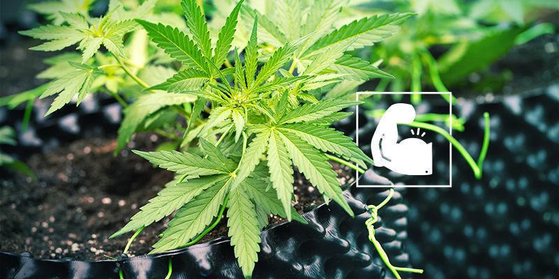 Cannabis Et Silice : Robuste Et Résistante