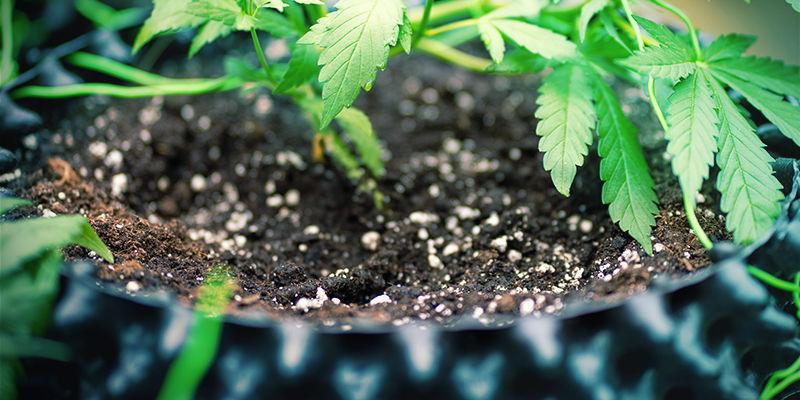 Méga Têtes Cannabis: Utiliser Silice en Terre