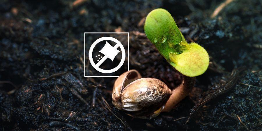 Ne Nourrissez Pas Les Plantules De Votre Cannabis