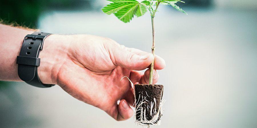 L'importance Pour Le Cannabis D'avoir Des Racines Saines